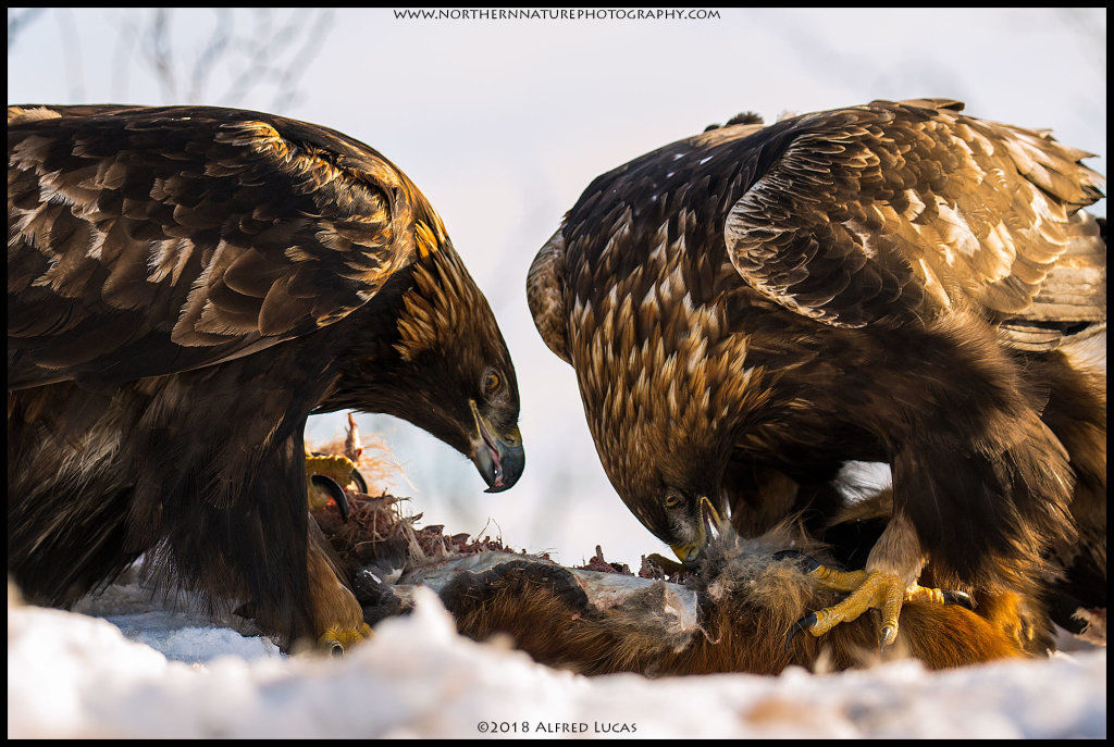 Golden Eagle #4