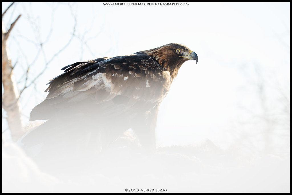 Golden Eagle #5