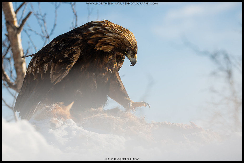 Golden Eagle #7