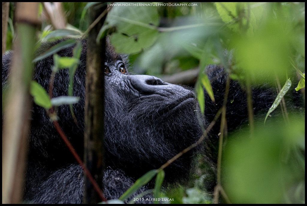 Mountain Gorilla #1