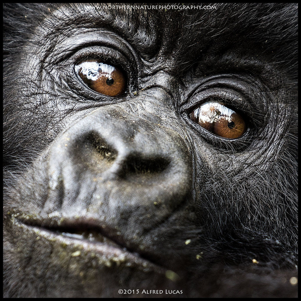 Mountain Gorilla #2