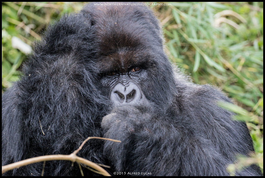 Mountain Gorilla #4