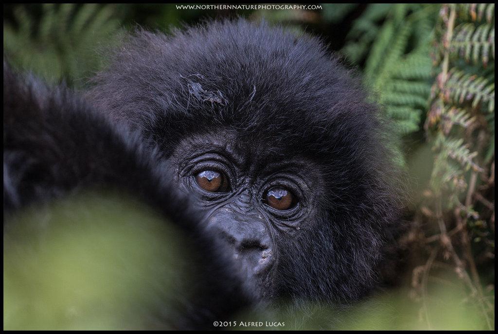 Mountain Gorilla #5