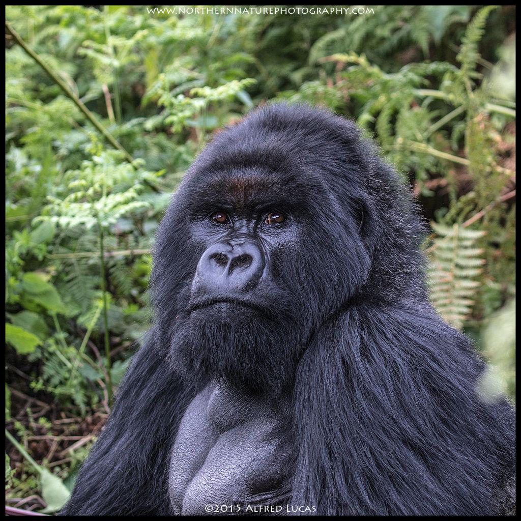 Mountain Gorilla #6