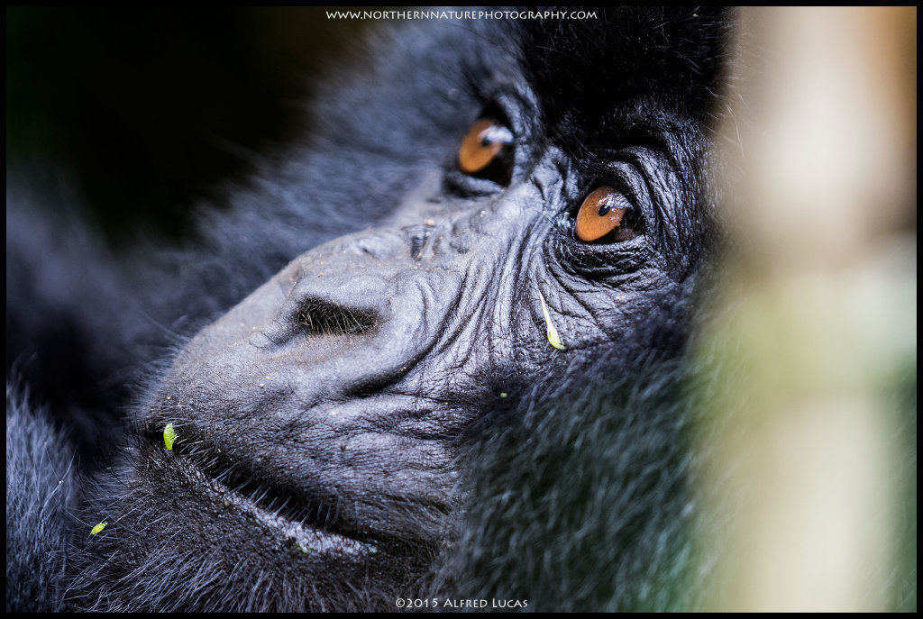 Mountain Gorilla #7