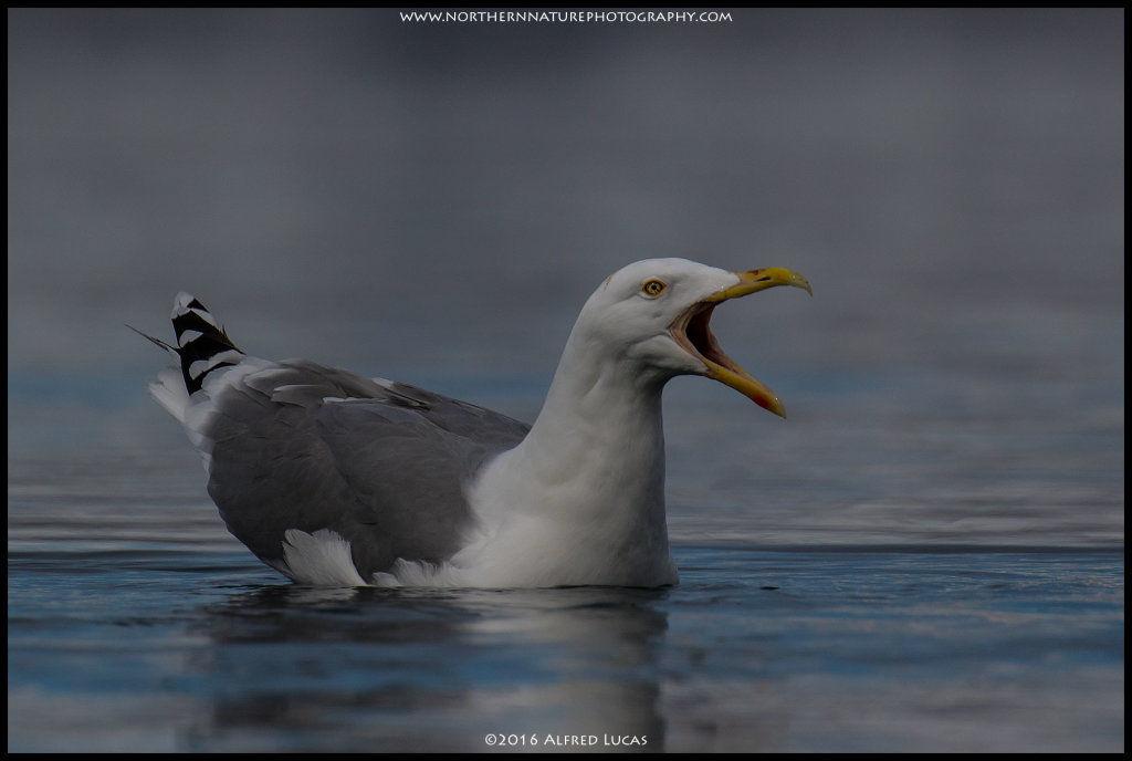 Gull #1
