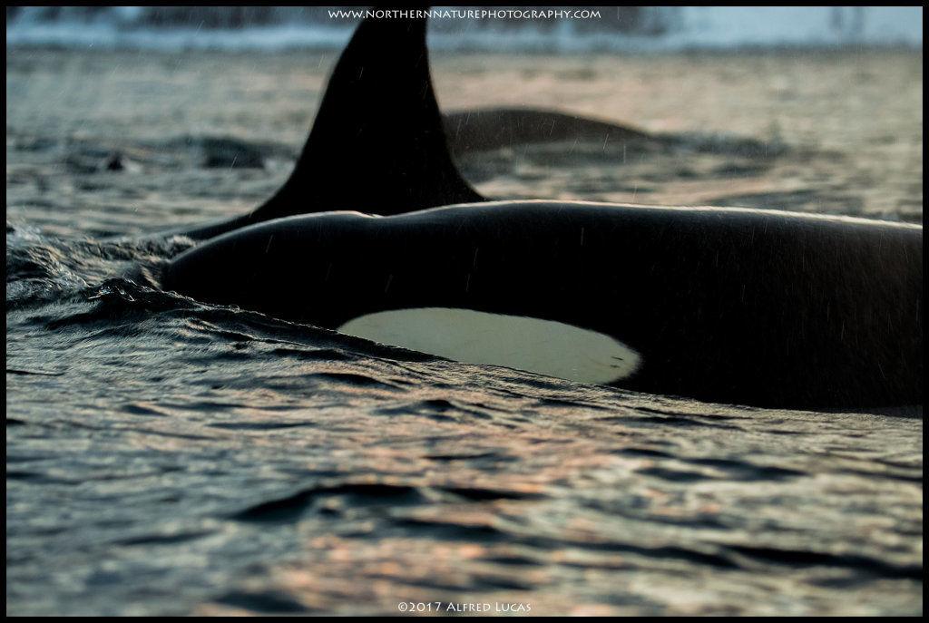 Orca #5