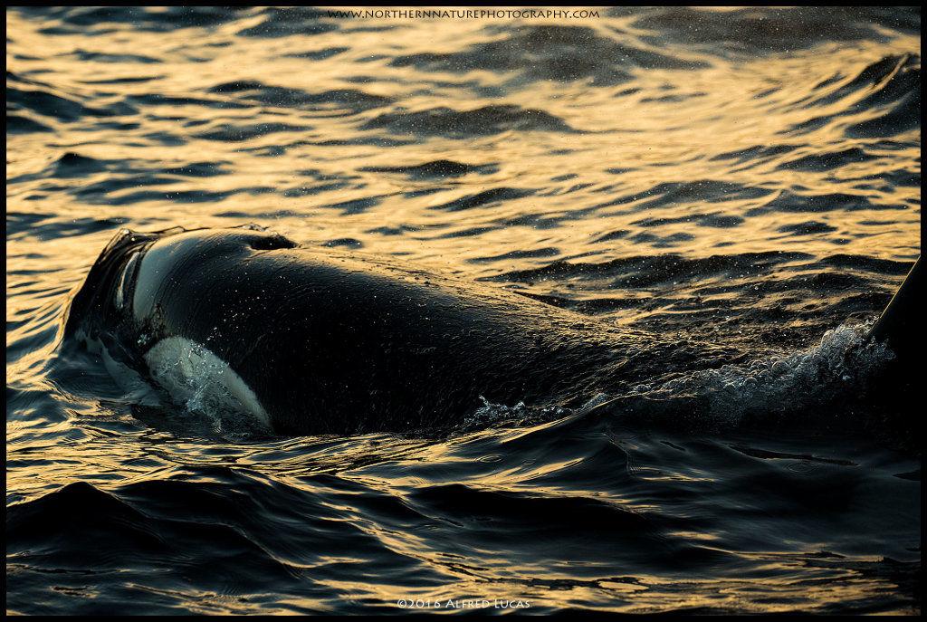 Orca #6