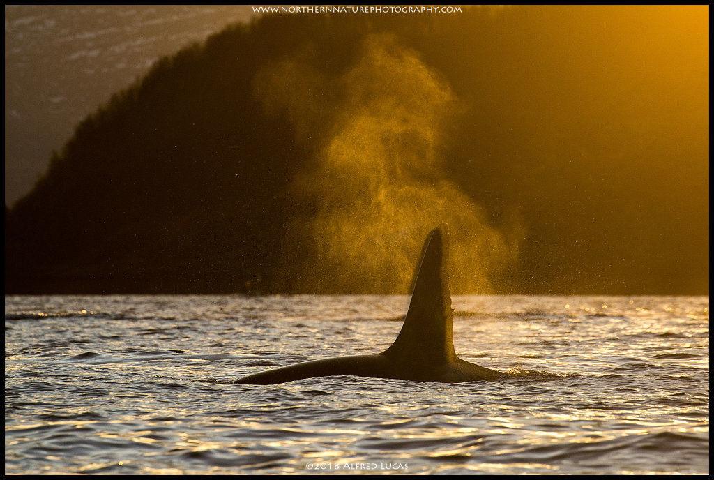 Orca #9