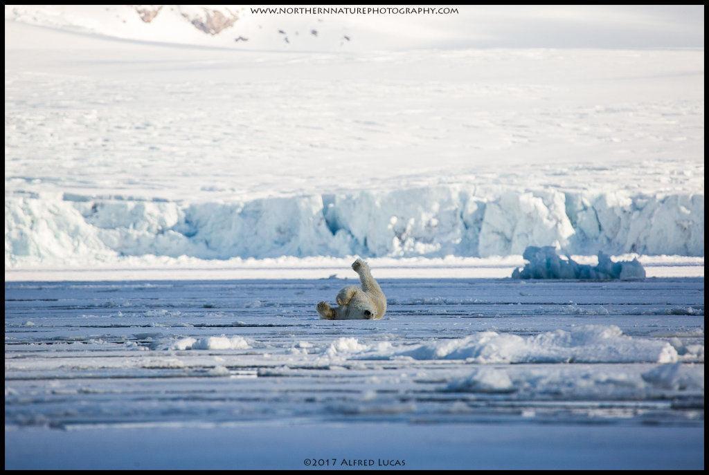 Polar Bear #4