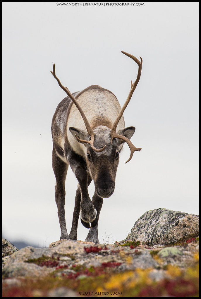 Reindeer #2