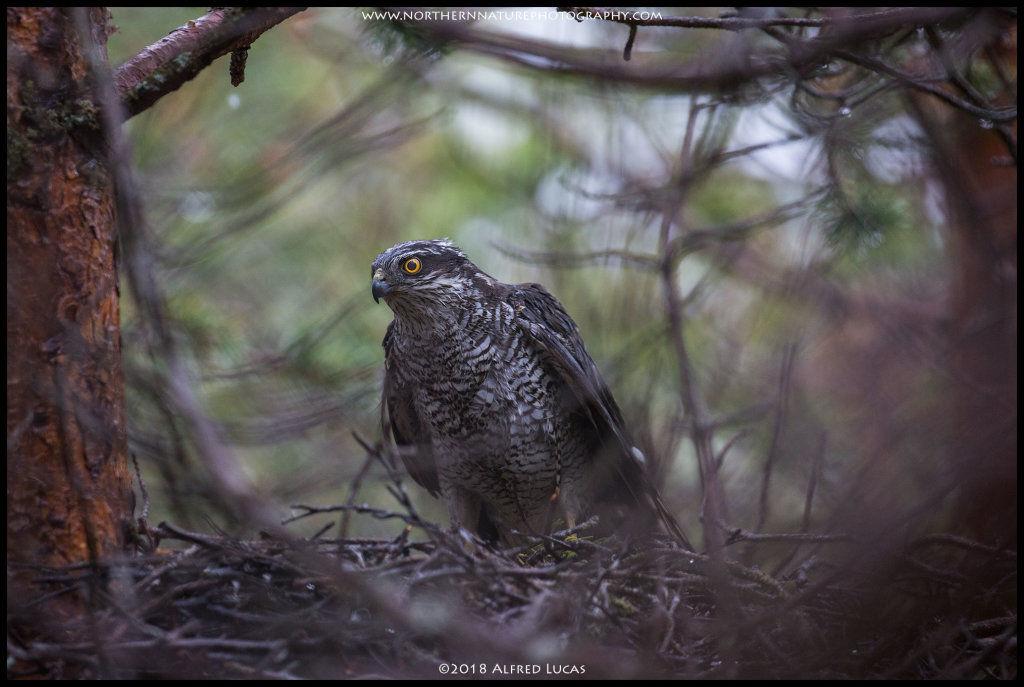 Sparrow hawk #1