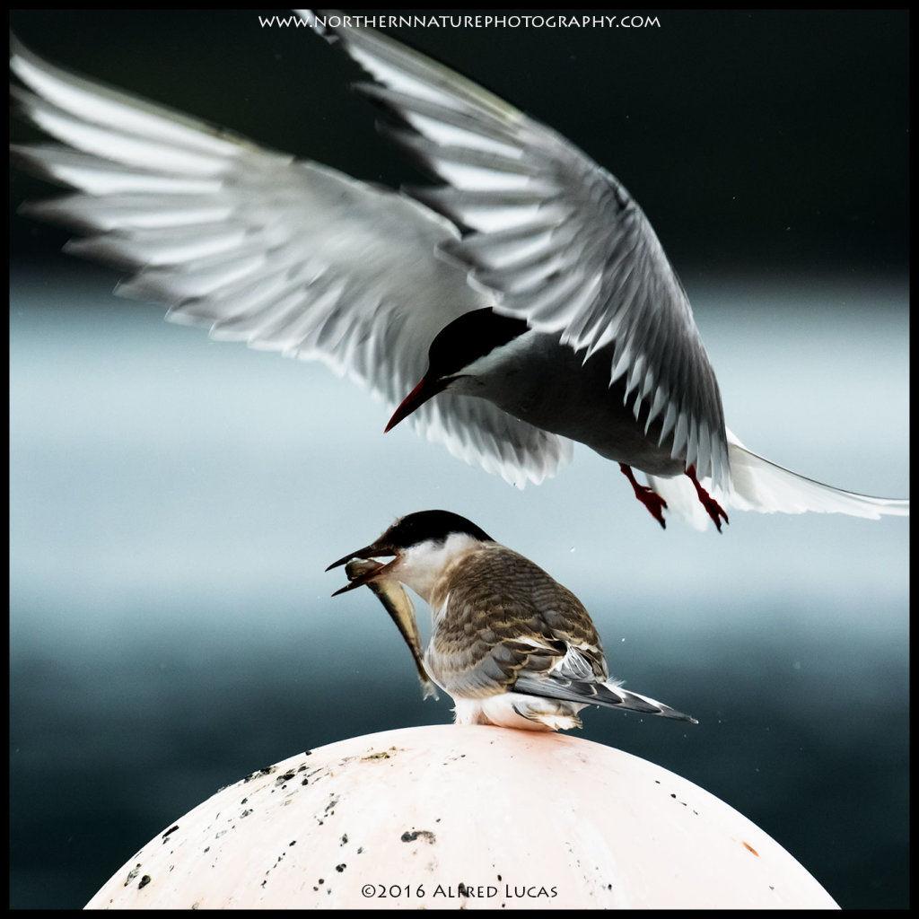 Tern #1