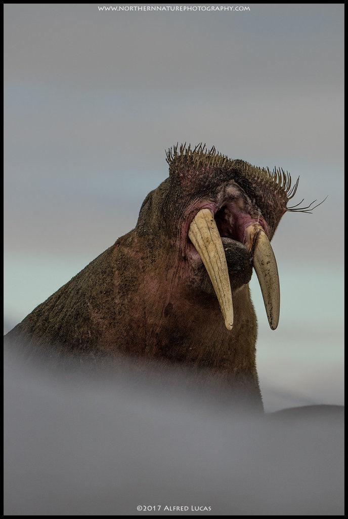 Walrus #2