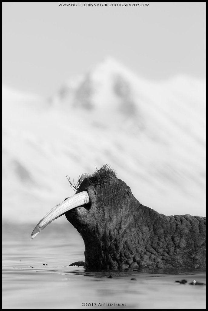 Walrus #8