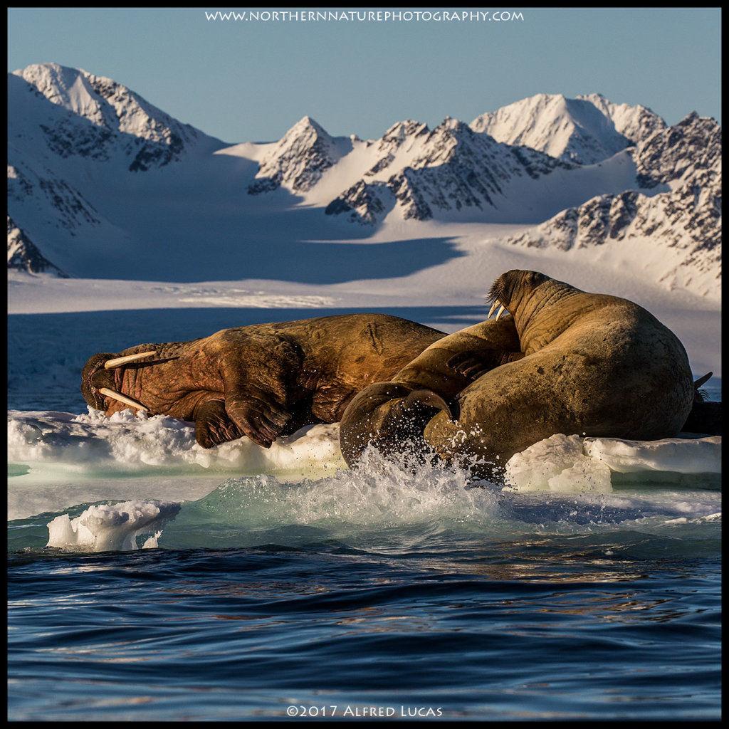 Walrus #9