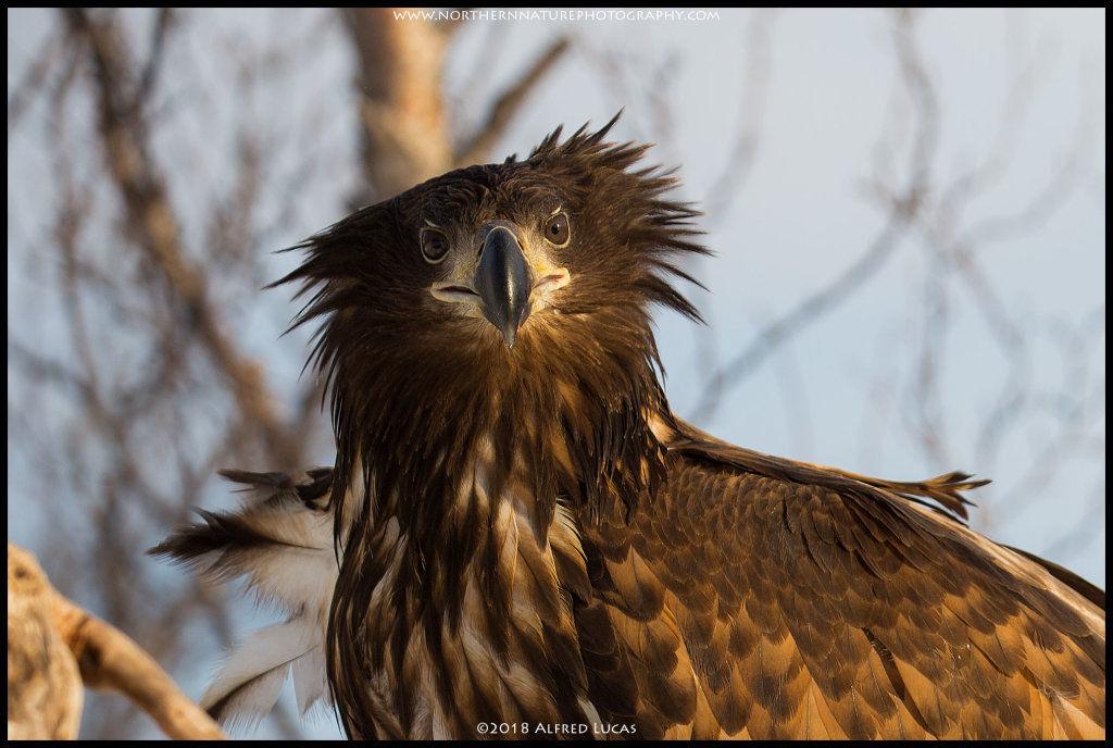 White-tailed eagle #12