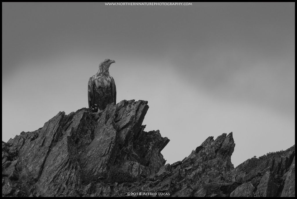 White-tailed eagle #13