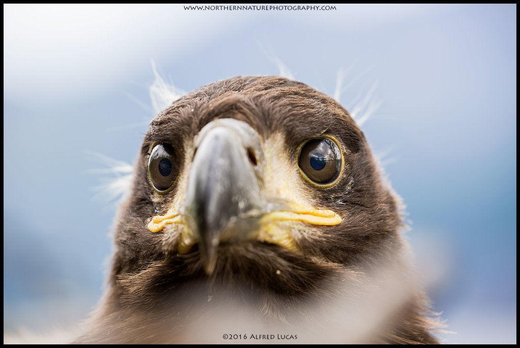 White-tailed eagle #2