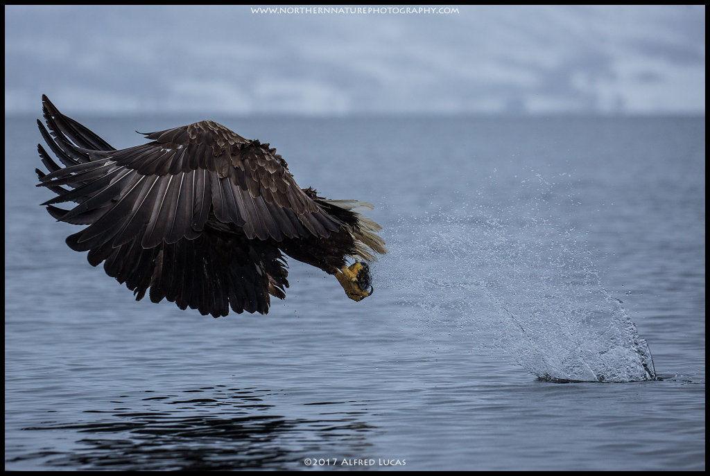 White-tailed eagle #3