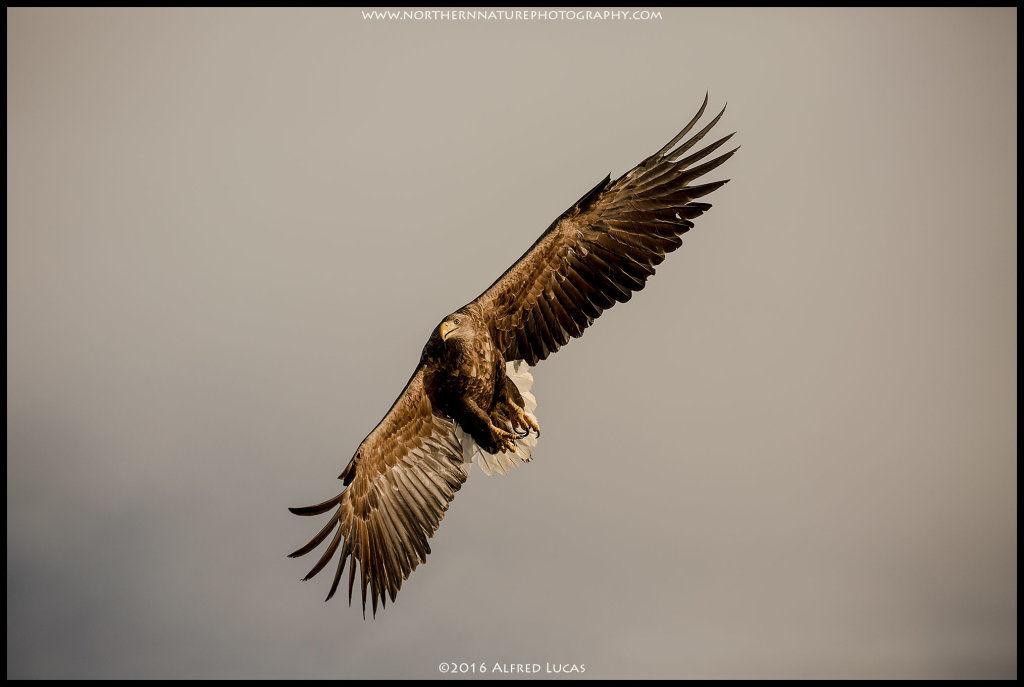 White-tailed eagle #4