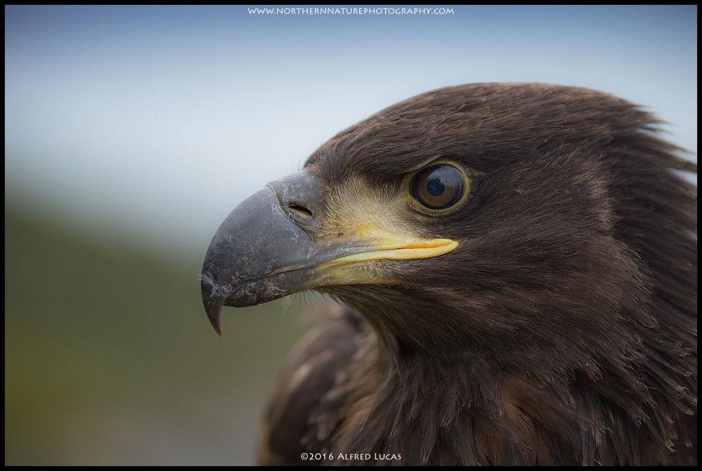 White-tailed eagle #5