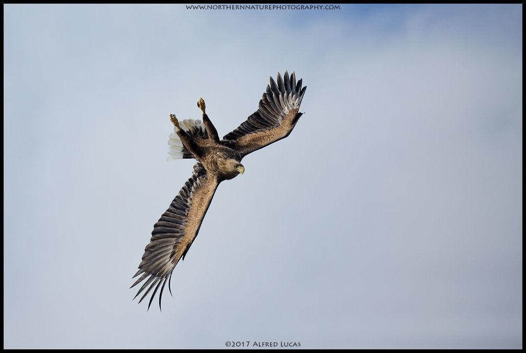 White-tailed eagle #6