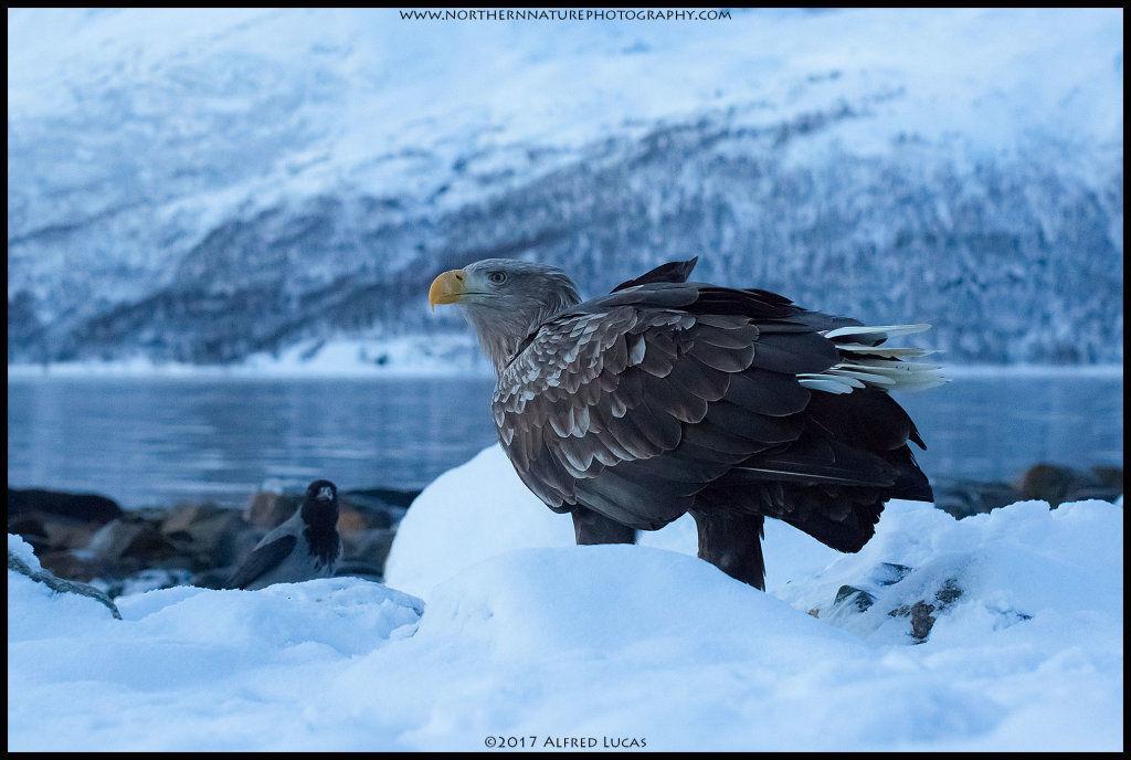 White-tailed eagle #7