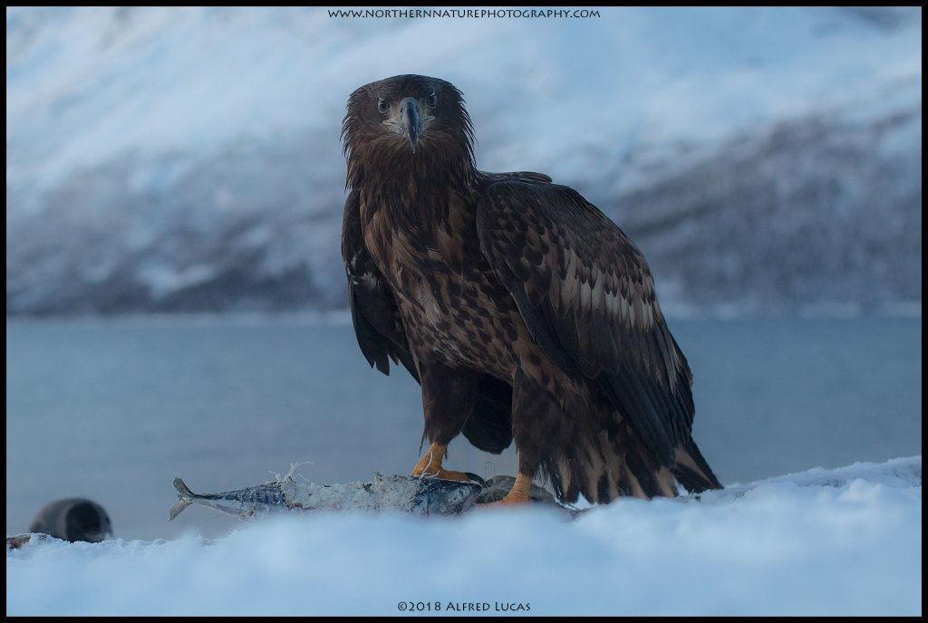 White-tailed eagle #8