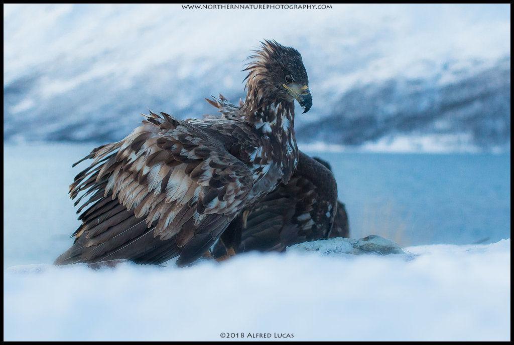 White-tailed eagle #9