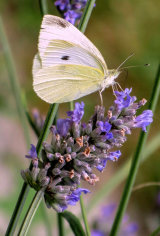 Cabbage White. Photographer: Carol Khorsandyon