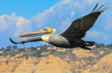 Pelican-Fly-By.  Photographer: carol Khorsandyon