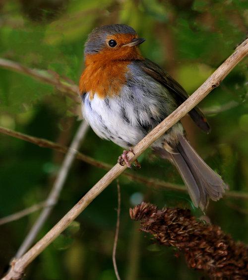 Scruffy Robin.  Photographer: Ken Thorn