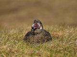 Great Skua Yawning