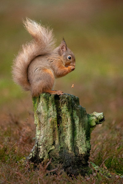 Red Squirrel Cairngorms