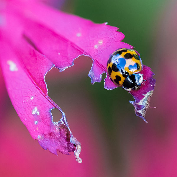 Ladybird on Acer
