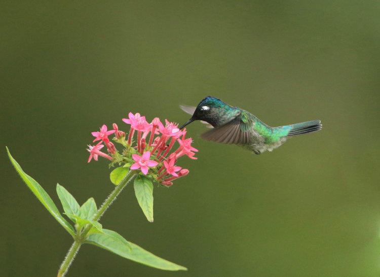 Violet Headed Humming Bird