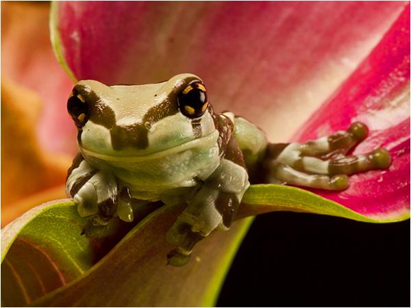 Amazonian Milk Frog