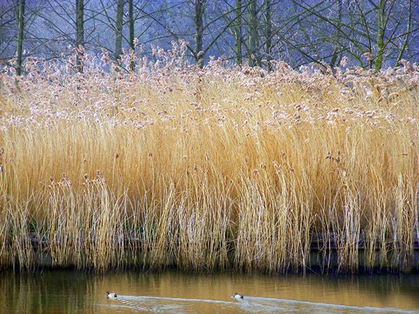 Summer Reeds