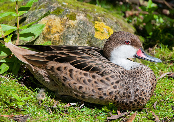 Sitting Duck (female Pintail)