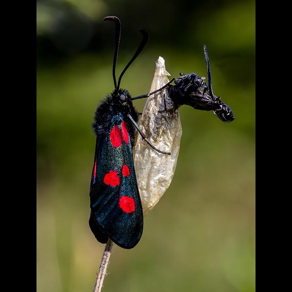 Six Spot Burnet Moth with Pupae
