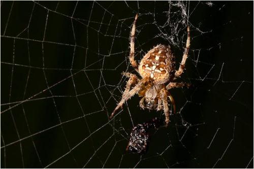 Garden Spider having Lunch