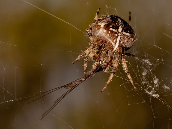 Garden Spider Feeding