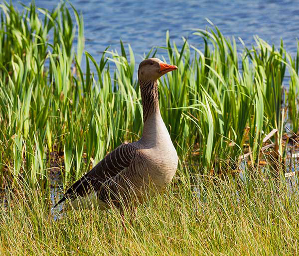 Graylag Goose in Natural Habitat