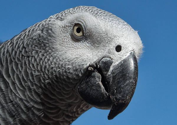 'Cheeky' the African Grey