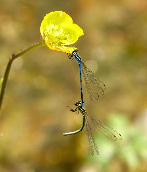 Azure Damelflies Mating