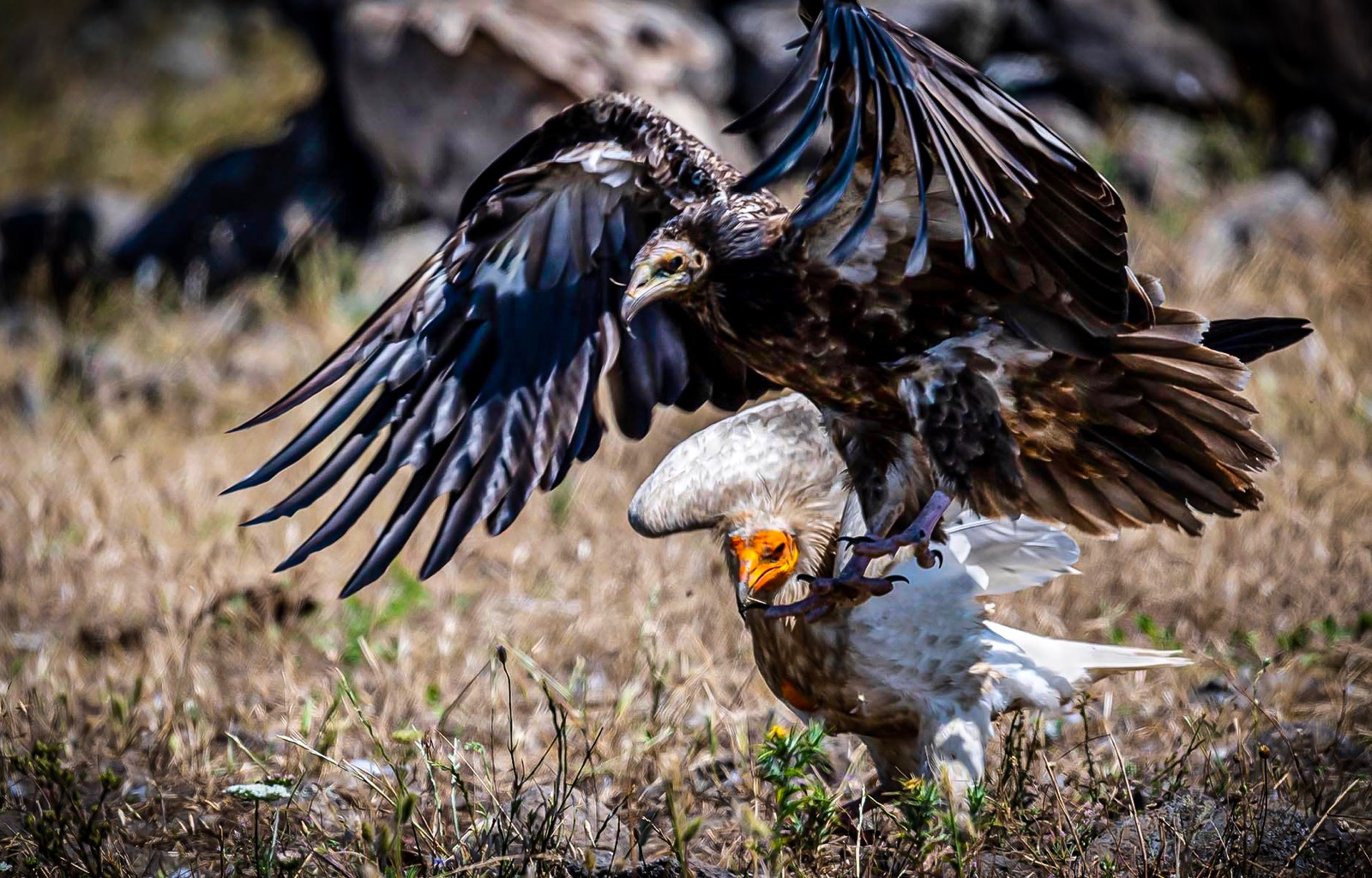 Egyptian vultures just one of the majestic bird our group will be photographing in 2020