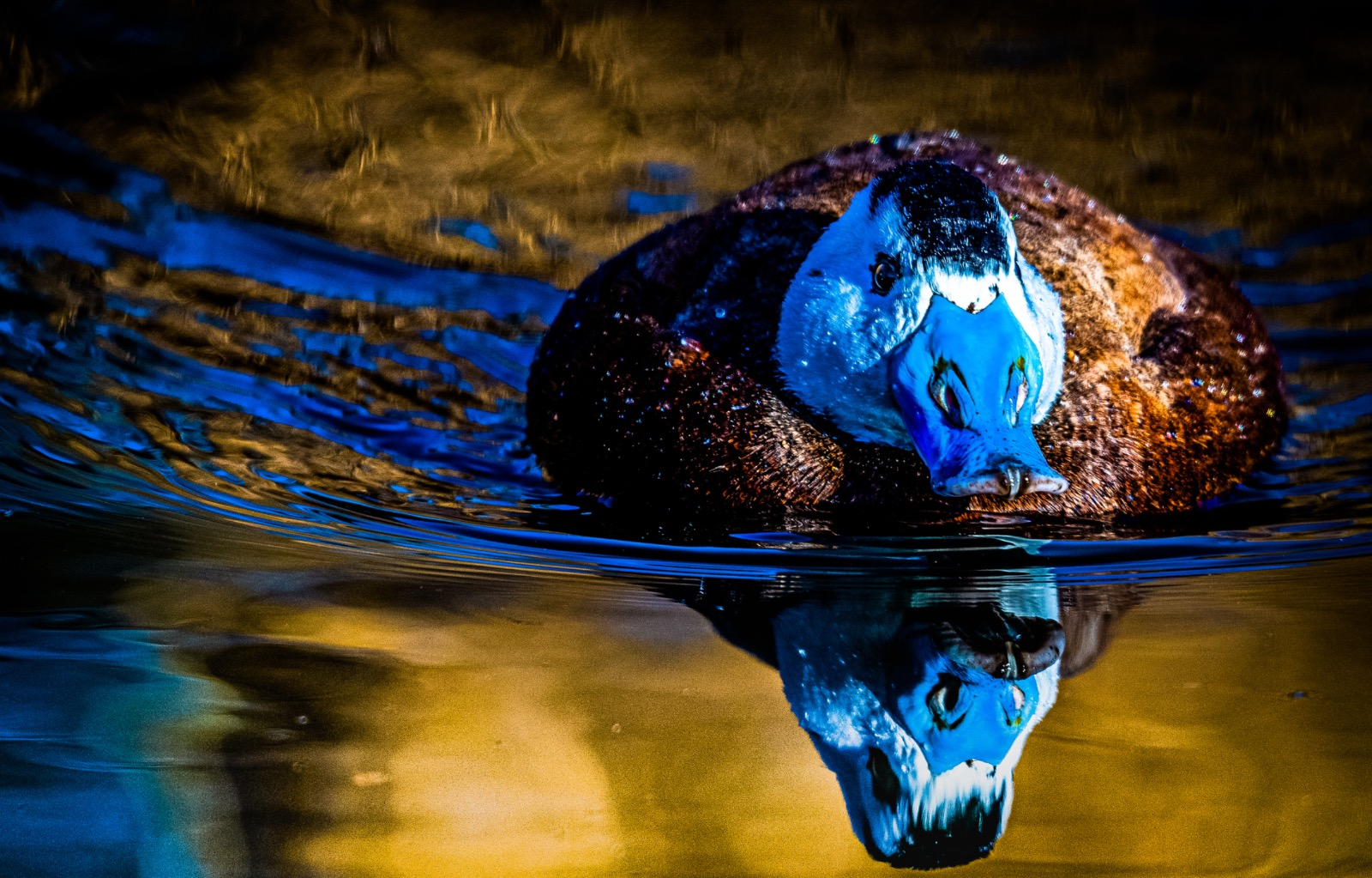 White headed duck reflection