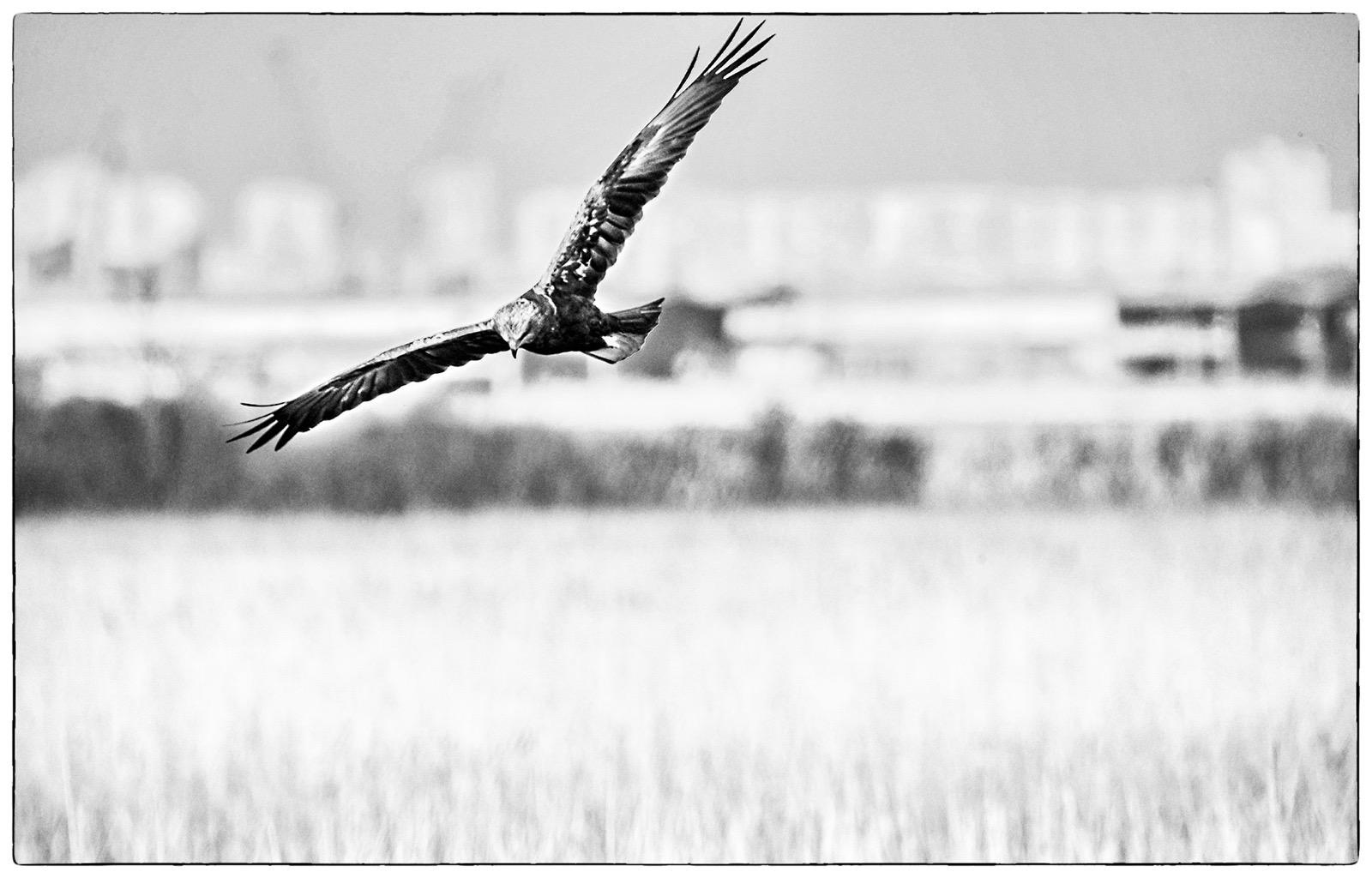 Hunting Marsh harrier reed-bed Poda lagoon wetland reserve Burgas