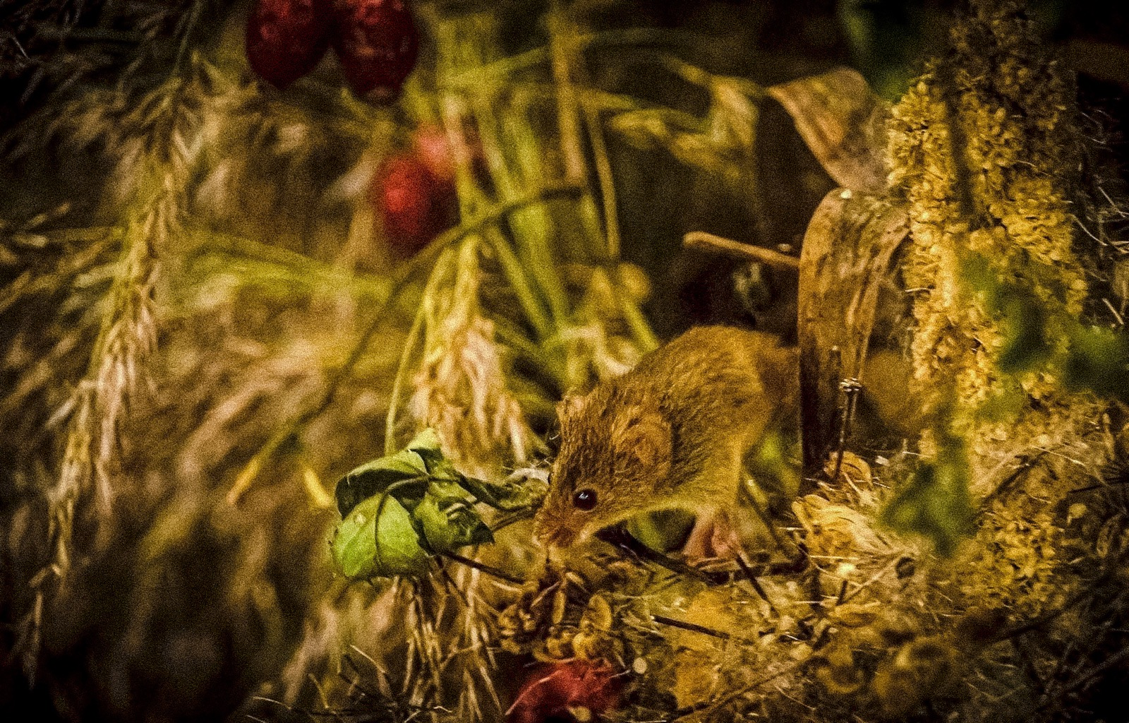 Harvest mouse life span is 18 months